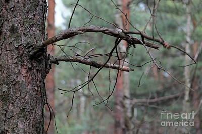 Photograph - Pine Twigs by Dariusz Gudowicz