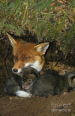 Red Fox Vulpes Vulpes Print by Gerard Lacz