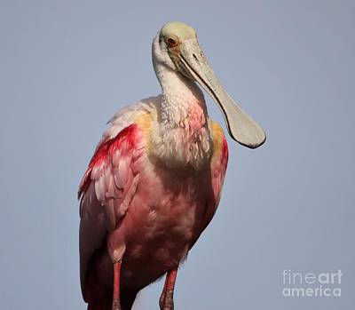 Photograph - Roseate Spoonbill by Paulette Thomas