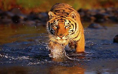Animals Digital Art - Tiger by Maye Loeser