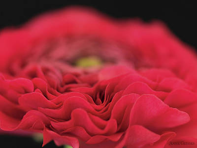 Floral Photograph - Ranunculus In Bloom by Anne Geddes