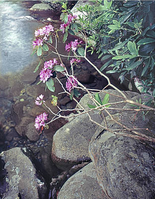 Photograph - 145924 Rhododendron At West Prong River by Ed Cooper Photography