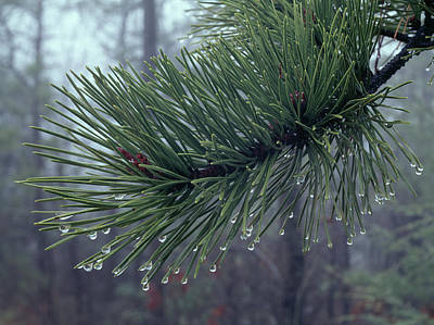 Mellow Yellow Rights Managed Images - 146206 Dew Drops on Pine Needles Royalty-Free Image by Ed Cooper Photography