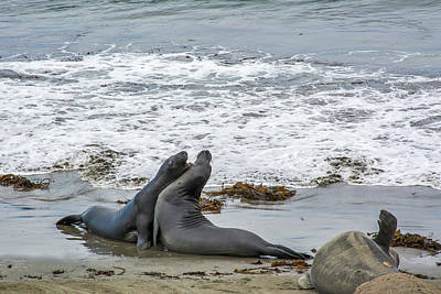 Popstar And Musician Paintings - 1475-  Elephant seals by David Lange