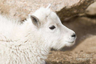 Steve Krull Royalty-Free and Rights-Managed Images - Baby Mountain Goats on Mount Evans by Steve Krull