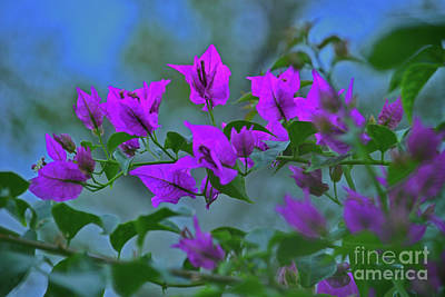 Photograph - 15- Bougainvillea by Joseph Keane