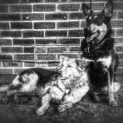 Dog Photograph - #dogs #petstagram #gsd #germanshepherd by Isabella F Abbie Shores FRSA