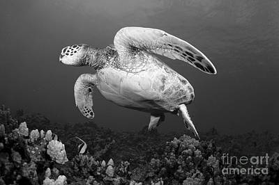 Green Sea Turtle Photograph - Green Sea Turtle by Dave Fleetham - Printscapes