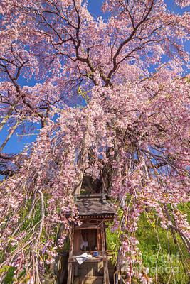 Photograph - Miharu Takizakura Weeping Cherry15 by Tatsuya Atarashi