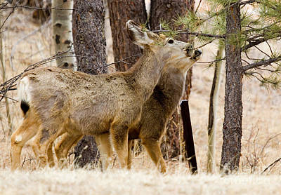 Steve Krull Royalty-Free and Rights-Managed Images - Mule Deer in the Pike National Forest of Colorado by Steve Krull