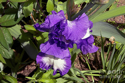 Photograph - Nice Iris by Elvira Ladocki