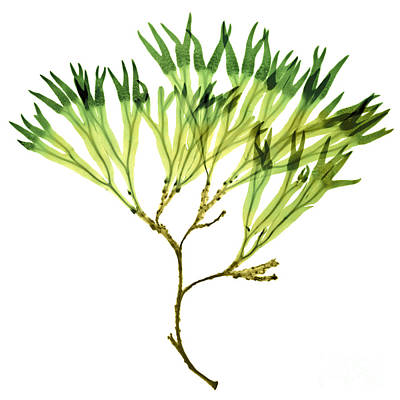 Photograph - Rockweed Seaweed, X-ray by Ted Kinsman