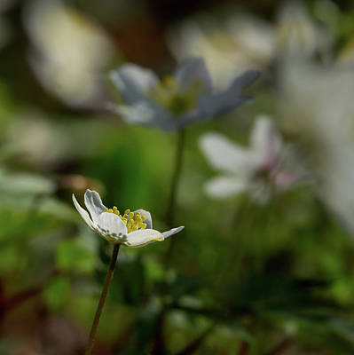 Photograph - Wood Anemone by Jouko Lehto