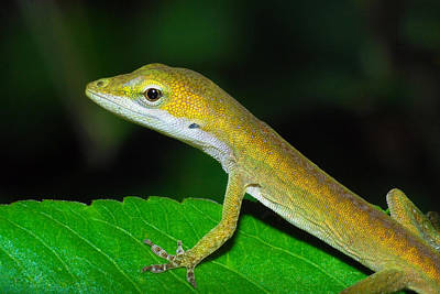 Photograph - Anole by Larah McElroy