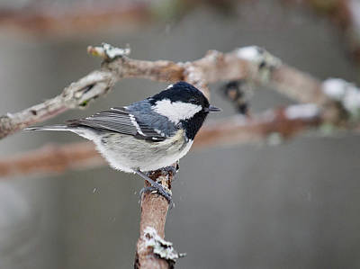 Photograph - Coal Tit by Jouko Lehto