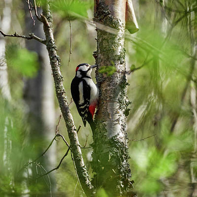 Photograph - Great Spotted Woodpecker by Jouko Lehto