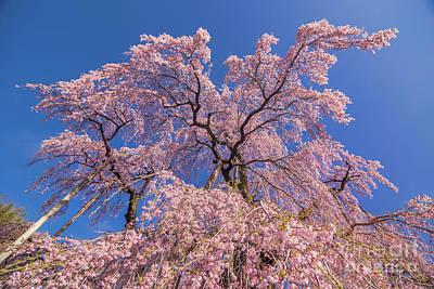 Photograph - Miharu Takizakura Weeping Cherry16 by Tatsuya Atarashi