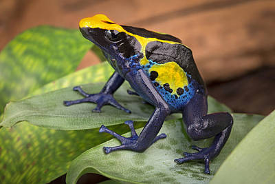 Frogs Photograph - Poison Dart Frog by Dirk Ercken