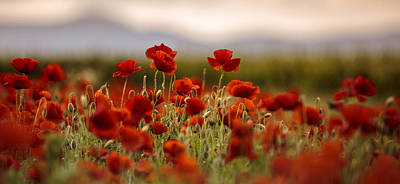 Meadows Photograph - Summer Poppy Meadow by Nailia Schwarz