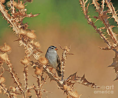 Gold Photograph - White-crowned Sparrow by Gary Wing