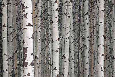 Photograph - Quaking Aspen Trees by Arterra Picture Library