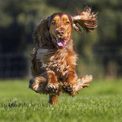 Photograph - English Cocker Spaniel by Arterra Picture Library