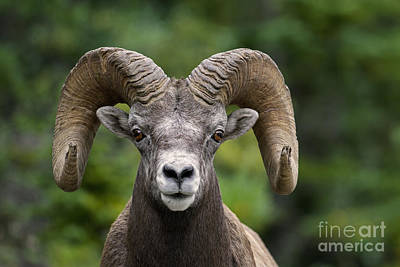Photograph - Bighorn Sheep Ram by Arterra Picture Library