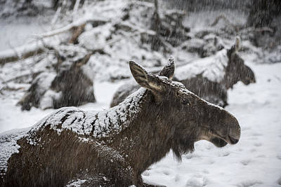 Photograph - Moose Resting In Snowstorm by Arterra Picture Library