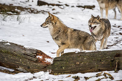 Photograph - Hunting Wolf Pack by Arterra Picture Library