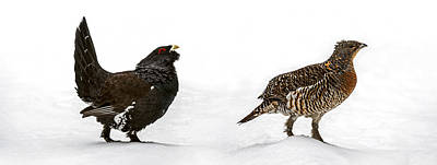 Photograph - Capercaillie Couple In Winter by Arterra Picture Library