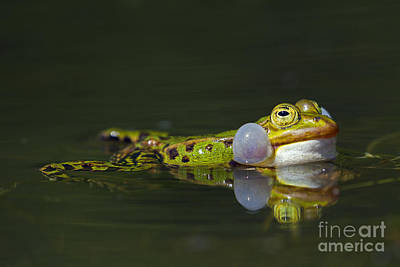 Photograph - Green Frog by Arterra Picture Library
