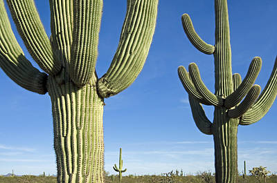Photograph - Saguaro Cacti by Arterra Picture Library