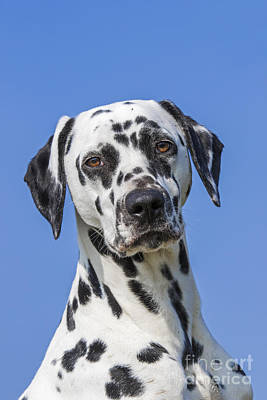 Photograph - Dalmatian by Arterra Picture Library