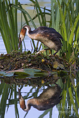 Photograph - Great Crested Grebe Nesting by Arterra Picture Library