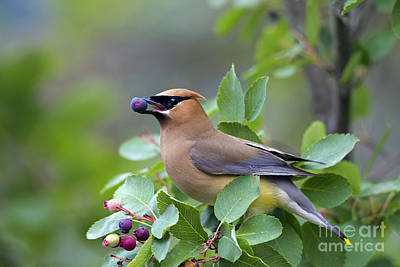 Photograph - Cedar Waxwing by Arterra Picture Library