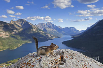 Photograph - Golden-mantled Ground Squirrel In The Rockies by Arterra Picture Library
