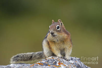 Photograph - Golden-mantled Ground Squirrel  by Arterra Picture Library