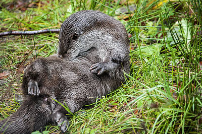 Photograph - European River Otter by Arterra Picture Library