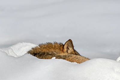 Photograph - Sleeping Wolf In The Snow by Arterra Picture Library