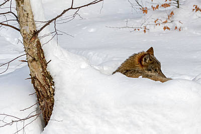 Photograph - Wolf In Winter by Arterra Picture Library