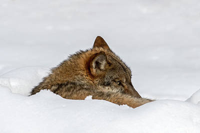 Photograph - Lonely Wolf In Winter by Arterra Picture Library