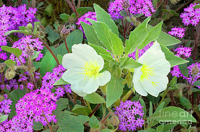 Photograph - Dune Primrose Oenothera Deltoides And Sand Verbena Wildflowers California by Dave Welling