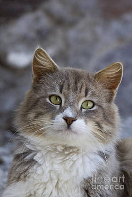 Gray Tabby Photograph - Cat On A Greek Island by Jean-Louis Klein & Marie-Luce Hubert