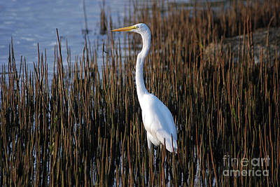 Photograph - 17- Great Egret by Joseph Keane
