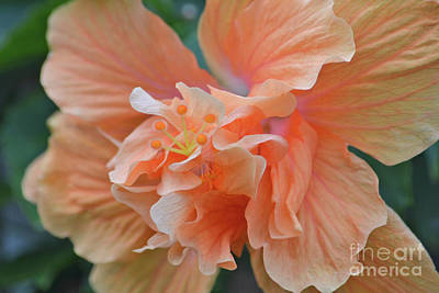 Photograph - 17- Hibiscus Love by Joseph Keane