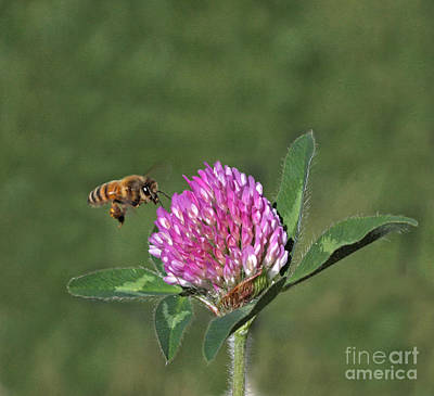 Gold Photograph - Honeybee by Gary Wing