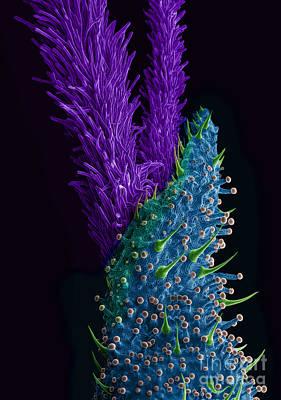 Photograph - Marijuana Female Flower, Sem by Ted Kinsman