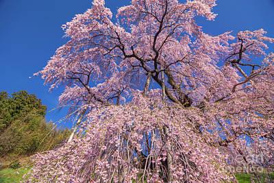 Photograph - Miharu Takizakura Weeping Cherry17 by Tatsuya Atarashi