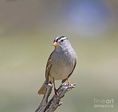 Wall Art - Photograph - White-crowned Sparrow by Gary Wing