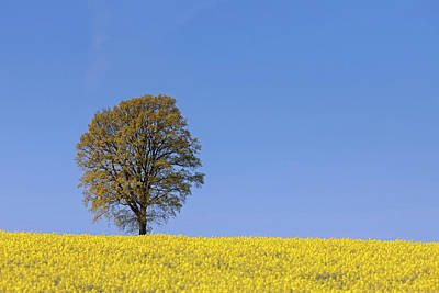 Photograph - English Oak In Field by Arterra Picture Library